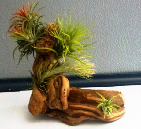 grapewood tree air plant display
