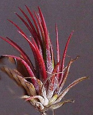 red air plant