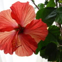 Color Inspiration:  Hibiscus